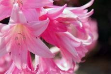 Pink Flerrs